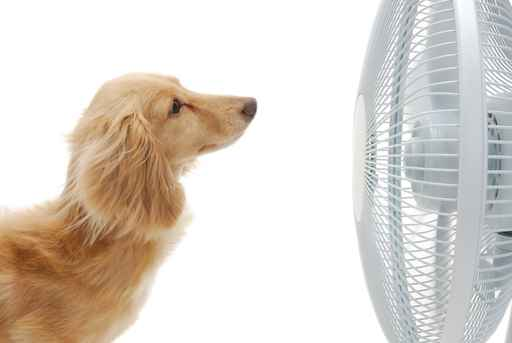 Dachshund and fan