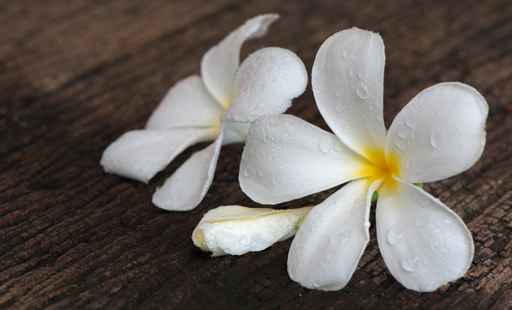 white Plumeria on wood background
