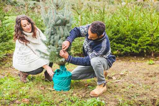 Young Couple Choosing the Right Fir Tree for Christmas